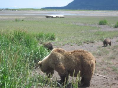 Katmai bear with cubs