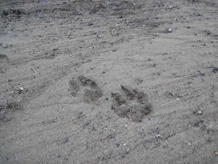 wolf tracks.jpg