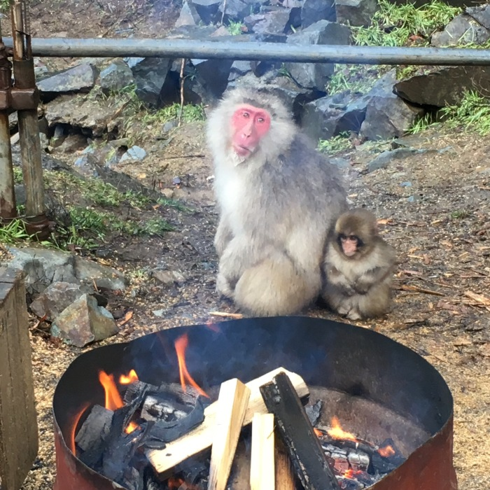 Snow Monkey with baby