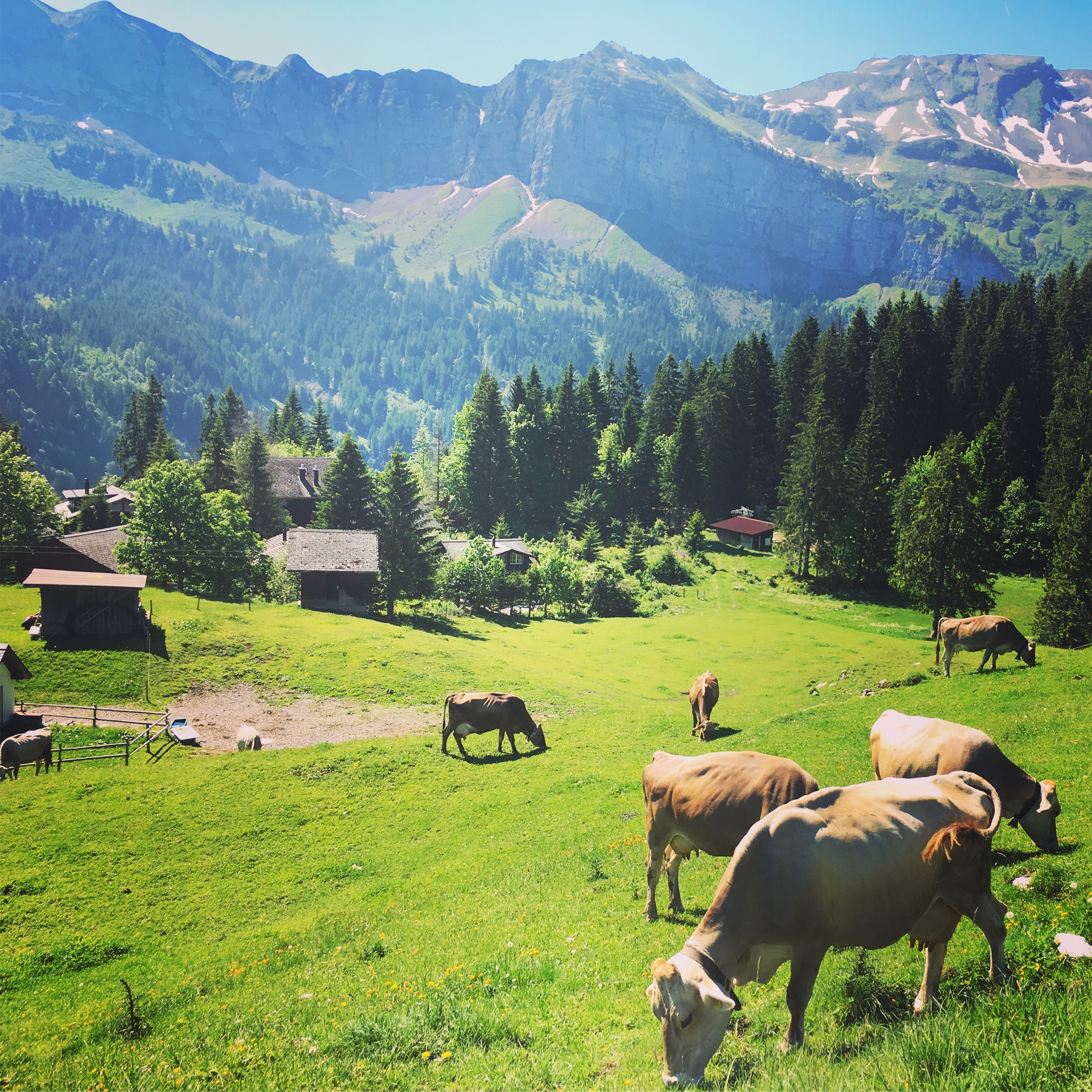Emmetten cattle